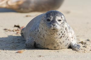 Pacific harbor seal pup. La Jolla, California, USA, Phoca vitulina richardsi, natural history stock photograph, photo id 15776