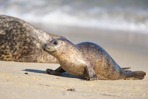 Pacific harbor seal, juvenile, Childrens Pool, Phoca vitulina richardsi, La Jolla, California
