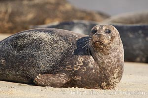 Pacific harbor seal, Childrens Pool, Phoca vitulina richardsi, La Jolla, California