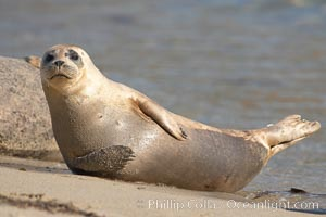 Pacific harbor seal, Childrens Pool, Phoca vitulina richardsi, La Jolla, California