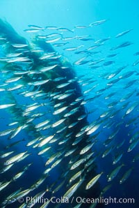 Jack mackerel and kelp., Trachurus symmetricus, Macrocystis pyrifera,  Copyright Phillip Colla, image #00380, all rights reserved worldwide.