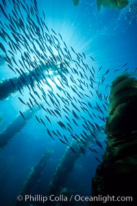 Jack mackerel schooling in kelp. San Clemente Island, California, USA, Trachurus symmetricus, Macrocystis pyrifera, natural history stock photograph, photo id 01019