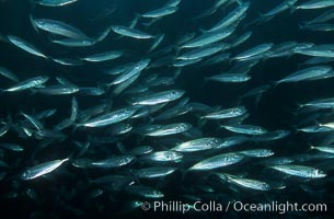 Jack mackerel, Trachurus symmetricus, Catalina Island