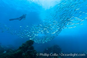 Jack mackerel schooling around a diver.  Summer, Trachurus symmetricus, Guadalupe Island (Isla Guadalupe)