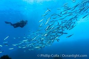 Jack mackerel schooling around a diver.  Summer, Trachurus symmetricus, Guadalupe Island (Isla Guadalupe)
