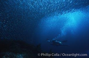 Jack mackerel schooling around diver, Trachurus symmetricus, Guadalupe Island (Isla Guadalupe)