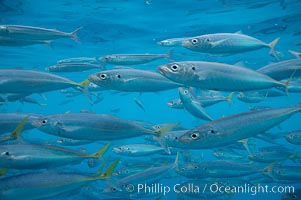 Mackeral, likely chubb mackeral (Scomber japonicus), Scomber japonicus, Guadalupe Island (Isla Guadalupe)