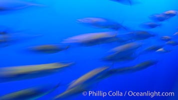 Pacific mackerel, long exposure show motion as a blur.  Mackerel are some of the fastest fishes in the ocean, with smooth streamlined torpedo-shaped bodies, they can swim hundreds of miles in a year, Scomber japonicus