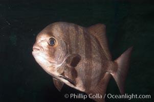 Pacific spadefish, Chaetodipterus zonatus