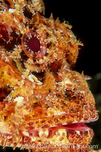 Stone scorpionfish, Scorpaena mystes, Wolf Island