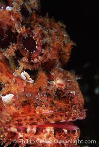 Stone scorpionfish eye, Scorpaena mystes, Wolf Island