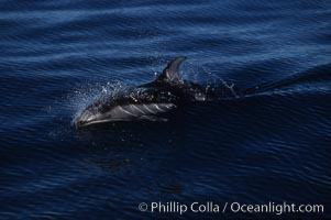 Pacific white sided dolphin, Monterey, Lagenorhynchus obliquidens, San Diego, California