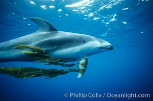 Pacific white sided dolphin carrying drift kelp., Lagenorhynchus obliquidens,  Copyright Phillip Colla, image #00043, all rights reserved worldwide.