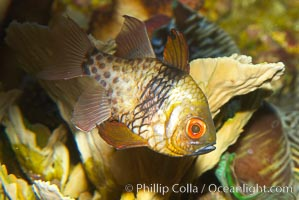 Pajama cardinalfish, Sphaeramia nematoptera