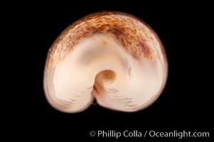 Pale Cowrie, Cypraea pallidula
