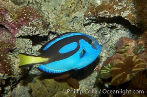 Palette surgeonfish, Paracanthurus hepatus