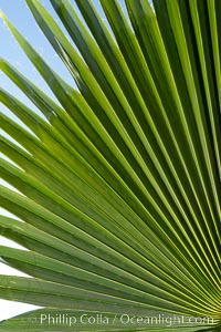 Palm tree fans, leaf, leaves, detail