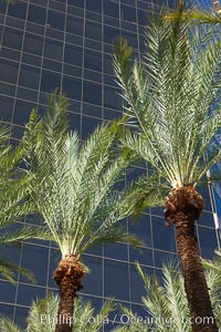 Palm trees and blue sky, office buildings, downtown Phoenix