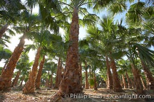 Palm trees on a tree farm, looking like a forest of palms, Borrego Springs, California