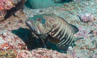 Panama Graysby Epinephelus panamensis, Sea of Cortez, Punta Alta, Baja California, Mexico