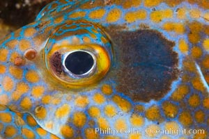 Panama Graysby Eye Detail, Epinephelus panamensis, Sea of Cortez, Isla Cayo, Baja California, Mexico