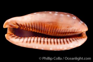 Panamanian Deer Cowrie, Little Deer Cowrie, Cypraea cervinetta, natural history stock photograph, photo id 07994