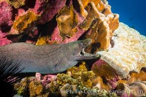Panamic Green Moral Eel, Gymnothorax castaneus, Clipperton Island, Gymnothorax castaneus