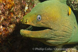 Panamic Green Moray Eel, Sea of Cortez, Baja California, Mexico, Gymnothorax castaneus