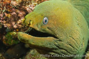 Panamic Green Moray Eel, Sea of Cortez, Baja California, Mexico. Sea of Cortez, Baja California, Mexico, Gymnothorax castaneus, natural history stock photograph, photo id 27467