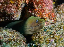 Panamic Green Moray Eel, Gymnothorax castaneus, Los Islotes, Baja California, Mexico