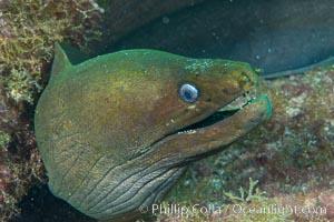 Panamic Green Moray Eel, Sea of Cortez, Baja California, Mexico, Isla San Diego