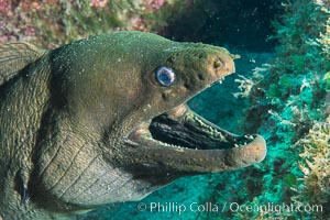 Panamic Green Moray Eel, Sea of Cortez, Baja California, Mexico, Isla San Diego