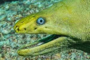 Panamic Green Moray Eel, Sea of Cortez, Baja California, Mexico, Isla San Francisquito