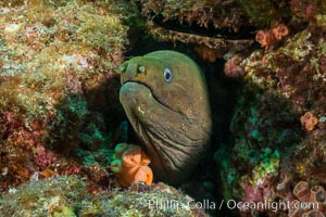 Panamic Green Moray Eel, Sea of Cortez, Baja California, Mexico, Isla Las Animas