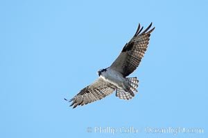 Osprey soaring, Pandion haliaetus, Bolsa Chica State Ecological Reserve, Huntington Beach, California