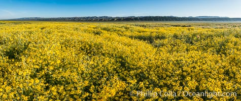 A Panorama of Wildflowers blooms across Carrizo Plains National Monument, during the 2017 Superbloom. Carrizo Plain National Monument, California, USA, natural history stock photograph, photo id 33230