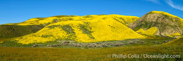 A Panorama of Wildflowers blooms across Carrizo Plains National Monument, during the 2017 Superbloom. Carrizo Plain National Monument, California, USA, natural history stock photograph, photo id 33259