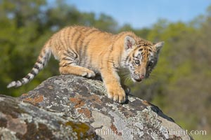 Siberian tiger cub, male, 10 weeks old., Panthera tigris altaica, natural history stock photograph, photo id 15989