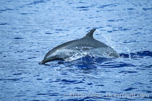 Pantropical spotted dolphin. Maui, Hawaii, USA, Stenella attenuata, natural history stock photograph, photo id 04562