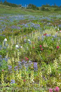 Paradise Meadows wildflowers, summer, Mount Rainier National Park, Washington
