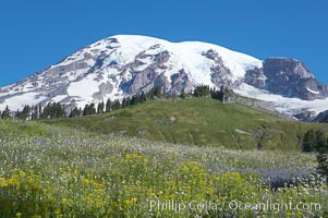 Summer wildflowers carpet the hillsides of Paradise Meadows below Mount Rainier, Mount Rainier National Park, Washington