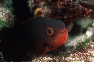 Pacific Creolefish hides in reef crevices at night, Sea of Cortez near La Paz, Paranthias colonus