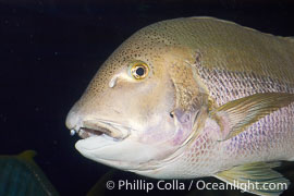 Unidentified pargo or grouper fish