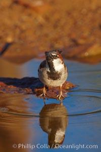 House sparrow, breeding male, Passer domesticus, Amado, Arizona