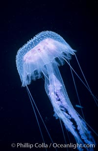 Purple jellyfish, open ocean, Pelagia noctiluca, Guadalupe Island (Isla Guadalupe)