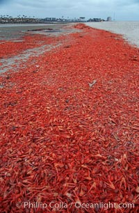 Pelagic red tuna crabs, washed ashore to form dense piles on the beach, Pleuroncodes planipes, copyright Phillip Colla Natural History Photography, www.oceanlight.com, image #06077, all rights reserved worldwide.