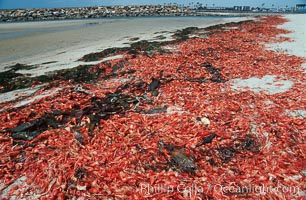 Pelagic red tuna crabs, washed ashore to form dense piles on the beach. Ocean Beach, California, USA, Pleuroncodes planipes, natural history stock photograph, photo id 06080