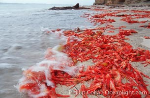 Pelagic red tuna crabs, washed ashore to form dense piles on the beach, Pleuroncodes planipes, copyright Phillip Colla Natural History Photography, www.oceanlight.com, image #06084, all rights reserved worldwide.