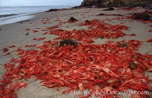 Pelagic red tuna crabs, washed ashore to form dense piles on the beach, Pleuroncodes planipes, San Diego, California