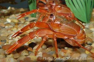 Red Crab, Pleuroncodes planipes